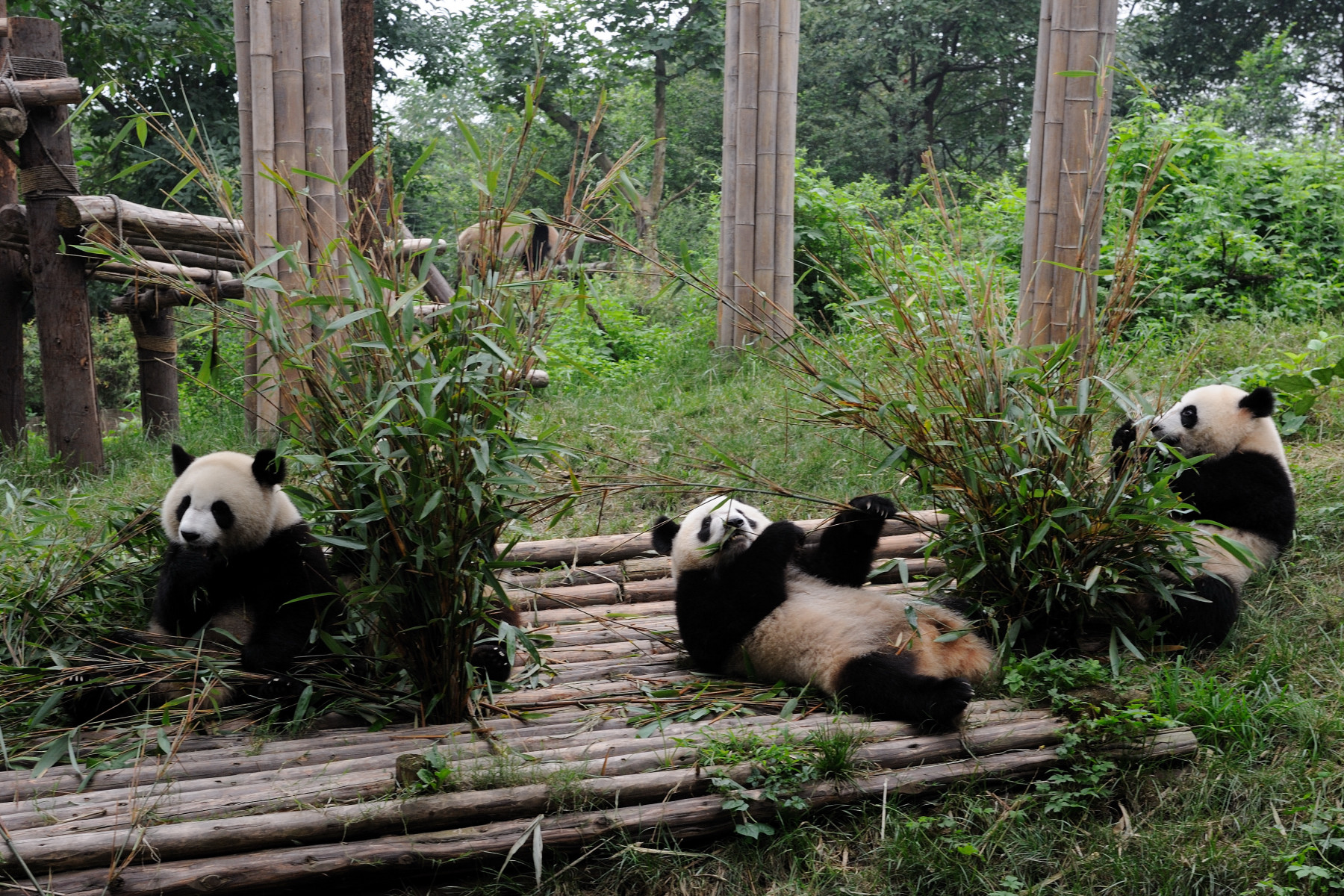 As a demonstration project, the Chengdu Panda Base has dedicated itself to giant panda conservation and made efforts to combine natural scenery and man-made landscapes to create appropriate and humane living areas for giant pandas, red pandas, and other endangered animals.