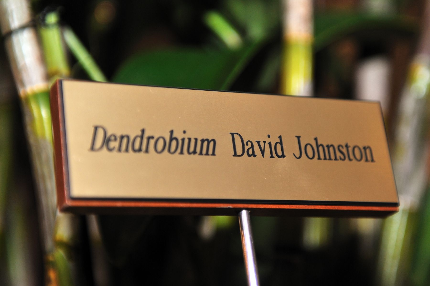 Dendrobium David Johnston