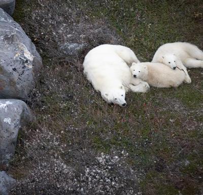 A polar bear and two cubs sleeping.