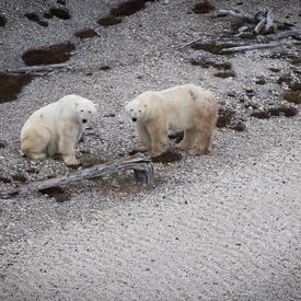 Deux ours polaires.