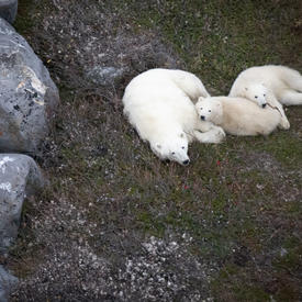 A polar bear and two cubs sleeping.